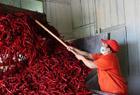 小辣椒成大产业