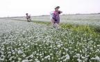 滨州:韭花飘香助增收