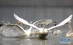 首批50只白天鹅如约飞回三门峡,就落在这里