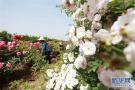河北内丘:鲜花产业助力精准扶贫