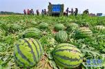 承德县两家乡两家村千亩麒麟西瓜喜获丰收