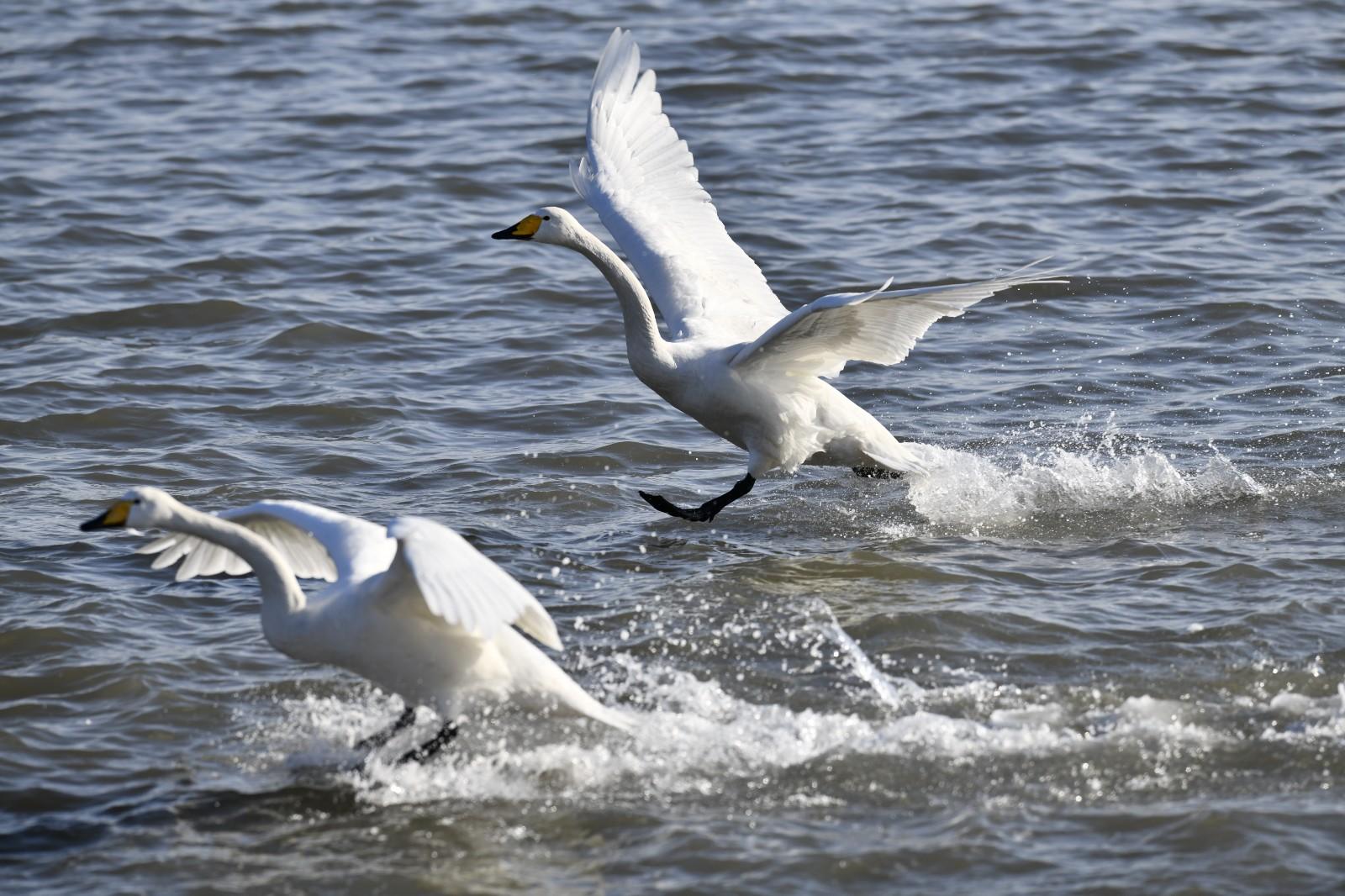 这是荣成大天鹅国家级自然保护区内的大天鹅(1月11日摄)。新华社记者 郭绪雷 摄