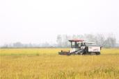 河南潢川:生態水稻開鐮收割