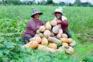 河南光山:小南瓜 大产业